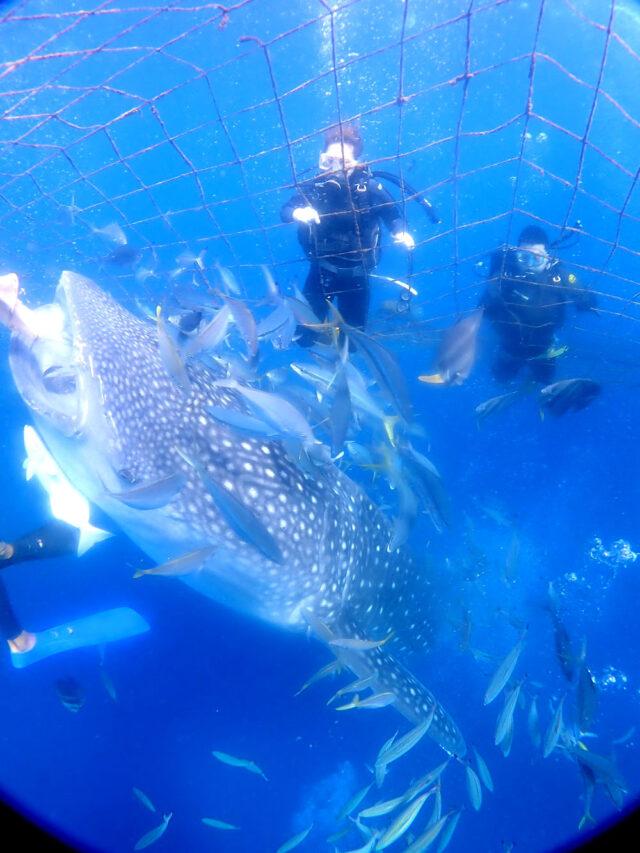 ジンベエザメと体験ダイビング
