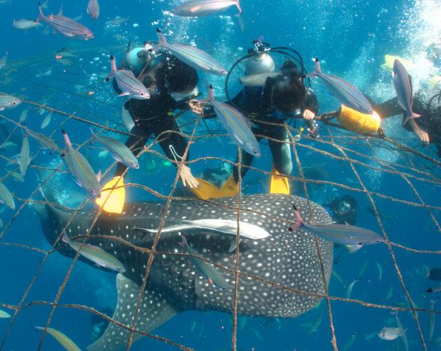 沖縄本島で見られるジンベエザメ