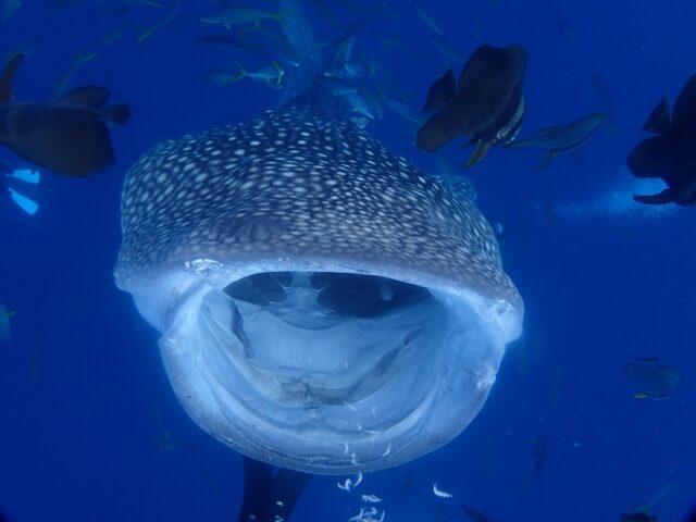 沖縄で見られるジンベエザメ
